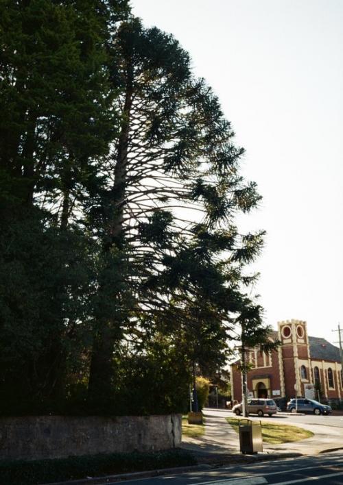 カトゥーンバ駅から宿に戻る途中。<br />枝ぶりがおもしろかった木。