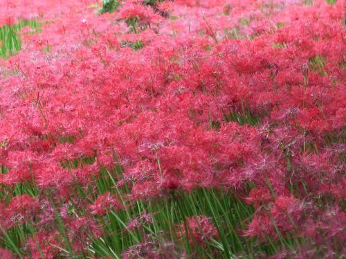 彼岸の時期には500万本の曼珠沙華(彼岸花)が見事に咲き揃う