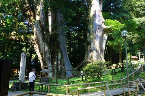 これが大杉。<br />