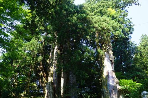 巨大杉の神々しさがみなぎっていました。すばらしい大木です。