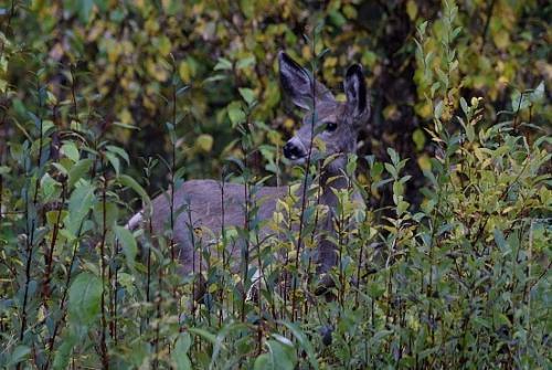 ジャスパーとマリーンレイクを結ぶ道路は、結構野生動物が出てきます。<br />野生動物に遭遇するのって、タイミングですよね。。。<br />たまたま、道端の茂みの中に、鹿を発見!!!<br />  White-taile deer ??