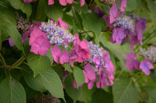 タマアジサイの花。<br />今年は長く続く雨のせいで紫陽花の花期も伸びている様。