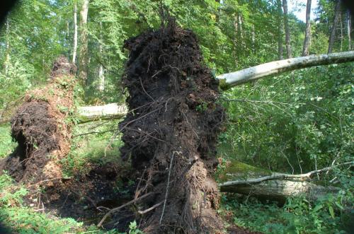 まるで雑草を引いたあとのように、木が根こそぎ倒れていた。これも、自然のなせる技なのだろうか。