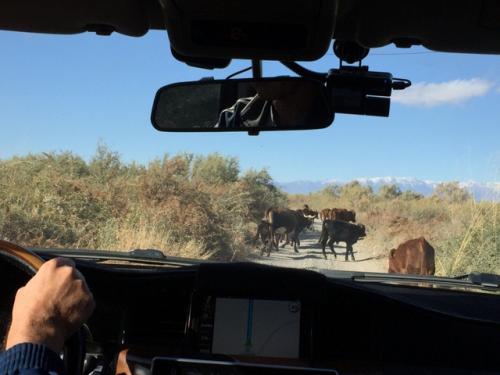 昼食のためにホテルへ戻る道すがら、牛の群れに行く手を阻まれた。<br />ゆっくり進むと、たいていの牛は「チッ」みたいに横にらみしつつ草むらに入っていくんだけど、ひたすら道路を走って逃げるのが一頭いて、群れからはぐれるよ!と他人事(?)ながら心配した(笑)。