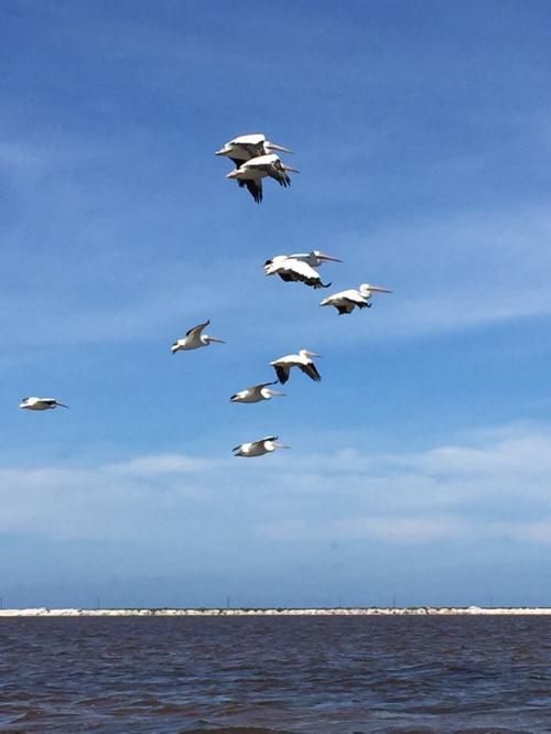 カッショク・ペリカンの集団飛行。<br /><br />編隊を組んで飛んでいく姿は雄大です。リーダーがちゃんといてしっかりと綺麗な隊列で飛んでいきます。<br /><br />因みに、彼らのエサの捕獲は空中からのダイブです。この海へ目がけて突撃をしていく姿は圧巻ですよ!