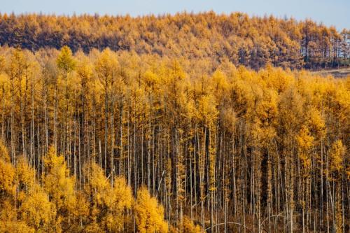 見事に色付いてる落葉松林