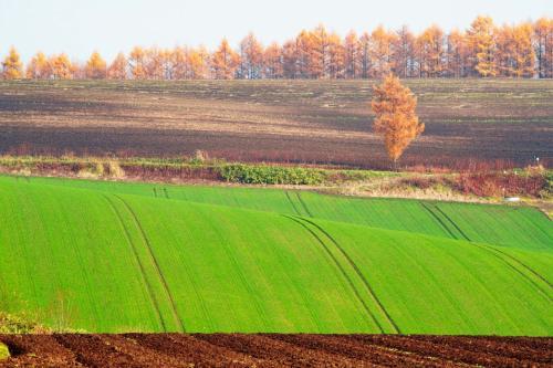 秋蒔き小麦と紅葉