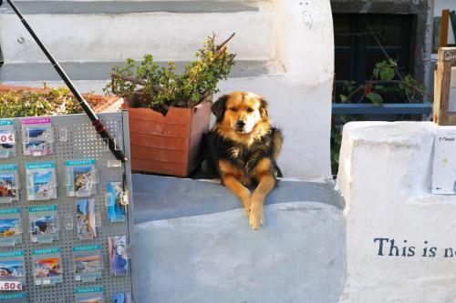 ☆Greece-Santorini-Oia★<br /><br />「イア」<br />こっちのワンちゃんもええ表情。イアはワンちゃん達がけっこうおる。どの子も大人しくて可愛らしい。