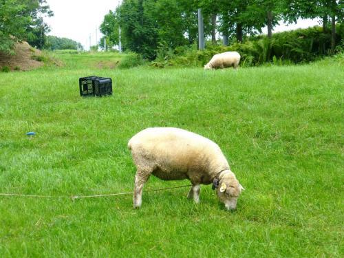 お店から駐車場にもどる途中の芝地で羊が放されていました。<br /><br />近くに飼い主と思われるおじさまがいて、「触ってもいいですよ」とおっしゃったので、芝地に入って羊をなでなで。<br />羊の毛って、けっこうゴワゴワなんだな。<br />