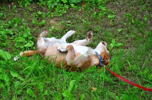 草むらで急にゴロゴロしだしたペペちゃん。<br /><br />どうやら背中がかゆいらしい。
