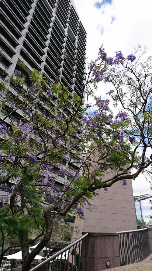 お散歩。<br /><br />滞在中、この紫色の花をよく見かけました。<br />日本でいう桜のように2週間くらいしか咲かないようで、帰国が近づくにつれて散り始めていました。<br />