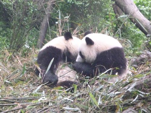 奥山にはパンダがいるらしい!。(これは成都のジャイアントパンダ繁殖研究基地)にて。