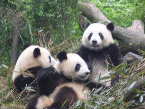 パンダは結構たくさんいた。子供から高齢まで。