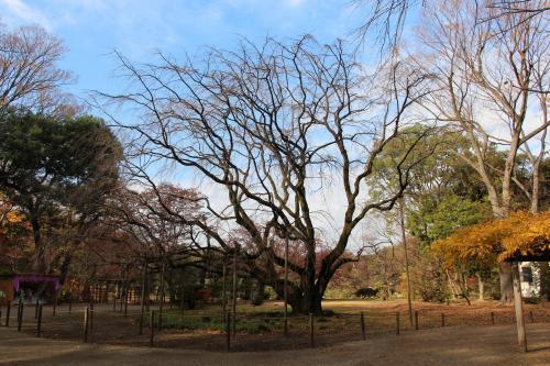春に見に来た枝垂れ桜は、枝だけとなっています。(-_-;)