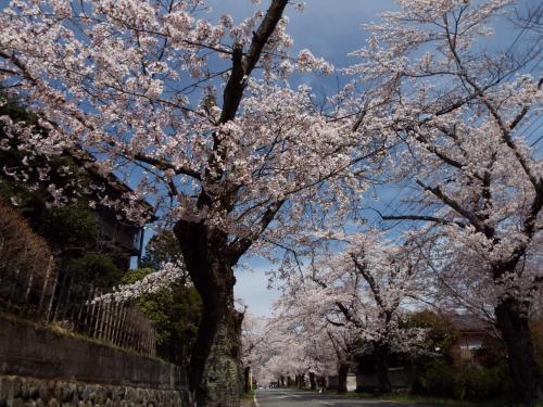 長瀞・満開の桜