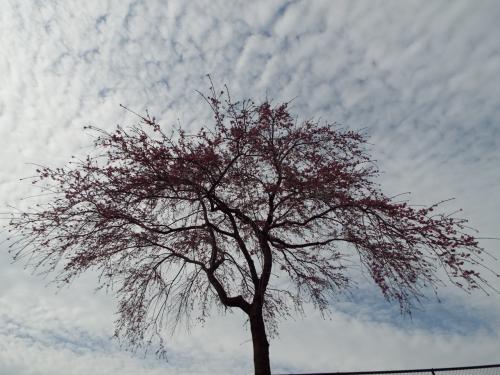 赤城南面千本桜横の枝垂れ桜