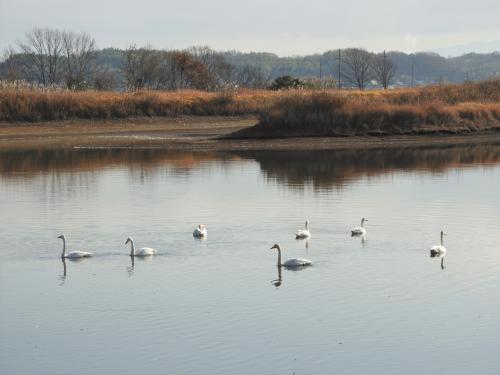 水正池の白鳥<br /><br />オオハクチョウやコハクチョウの両方が見られる。