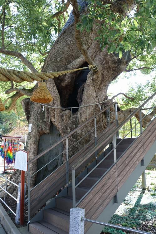 こちらは本殿に向かって右側の楠木で、高さが21m。<br />幹周りが8m63cmもある巨木です。