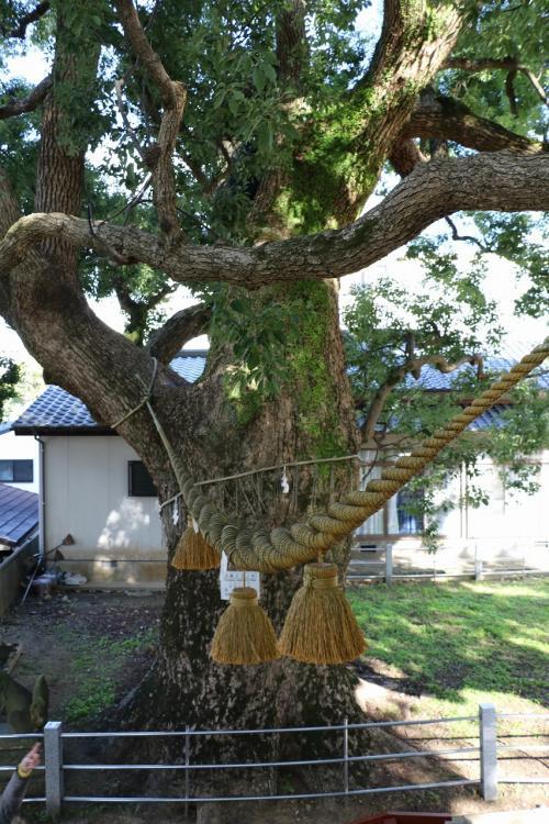 そして反対側のこの木が高さ17.6m。<br />幹周り6m58cmの巨木です。<br />右側の楠木よりちょっと小さめです。