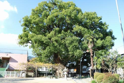 境内からこれらの木を見るとこんな感じで、とても大きな楠木です。<br />原爆の爆風や放射線に当たったにもかかわらず、生き残ったこの木の生命力の強さを感じます。<br />まさしく大きなパワーをもらえそうです。