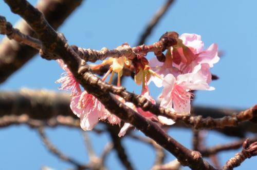 弓ヶ浜を後にし、下田へ向かいます。<br />途中で寄った下賀茂の道の駅「湯の花」では、もう河津桜が花をつけていました。