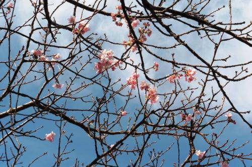 川沿いに桜並木があったのですが、そのうちの数本に花が。<br />12月に桜、は生まれて初めてかもしれません。