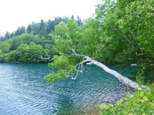倒れそうで倒れない、根性のある木。<br /><br />さて、そろそろカヌーの予約時間になるので、集合場所「然別湖畔温泉」の観光トイレ前へ。<br /><br />然別湖ではカヌーツアーを実施している会社が複数ありますが、少人数制で、時間の長いツアーがある《ボレアルフォレスト》さんに申込みをしました。<br /><br />★ガイドカンパニー《ボレアルフォレスト》<br />http://www.boreal-forest.jp/canoe/index.html