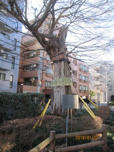 善光寺坂のムケノキ、文京区指定<br />樹高約13m、目通り幹回り約5m、樹齢400年位とされている。当該樹木は、上記の空襲によって樹幹上部が欠損し、樹幹下部もその空襲によって幹に炭化した部分が見受けられる。<br />文京区小石川3丁目18番(ポケットパーク内)<br /><br />