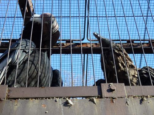 これは・・<br />最大の猛禽類コンドルさんの大きさを撮ったつもりでした・・