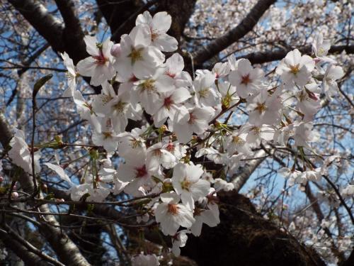 長瀞:満開の桜