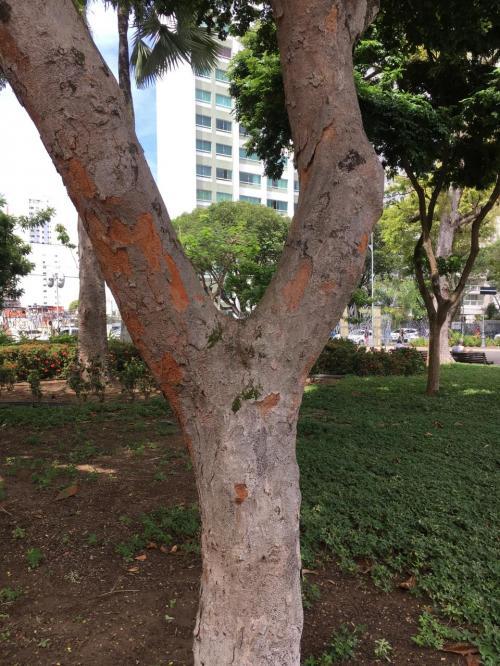 この木が、ブラジルの名前の由来となった、パウ ブラシル