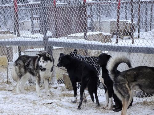 順番が近くなると犬舎の近くで待ちます。走りたくてたまらなそうな犬たち。