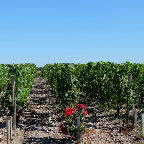 ボルドー地方のワイン共通作成方が複数ぶどう品種をくみあわせるもの。<br /><br />ここのお城のぶどうの種類は50% メルロ 、47% カベルネ ソーヴィニヨン、3% カベルネ フラン。 これらの種類をアッサンブラージュという工程で組み合わせてから発酵します。