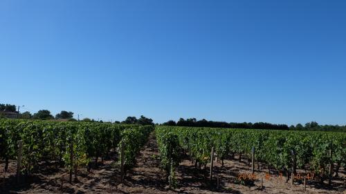 ワイナリーで働くノルマンディー出身の20代の彼は、ビオ(有機栽培)のワインは育てるのが高いので、部分的にビオだけれど、このワイナリーの大部分が普通の育て方、と話します。