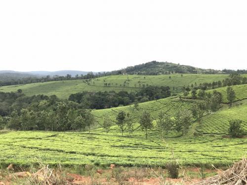 ブウィンディ国立公園に向かいます。<br />アフリカの真珠と呼ばれるウガンダは鮮やかな緑が一面に広がります。