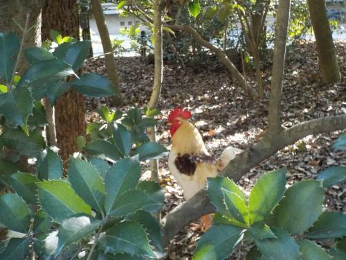 鶏も放し飼い