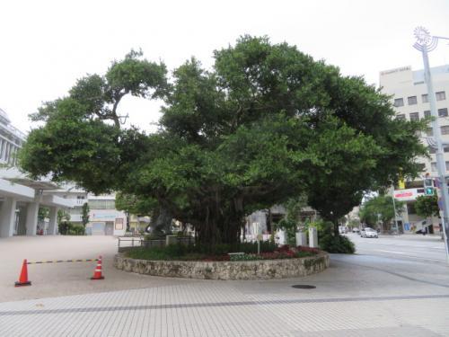 愛のシーサー公園横の那覇市役所にガジュマルの木があります