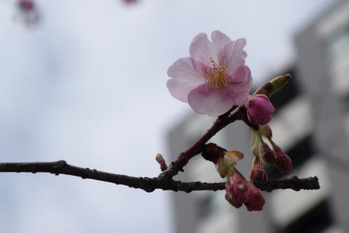 遠いので、少しでも運賃節約。定期券で築地市場駅へ。そっから新橋駅まで歩きますが…<br /><br />お、国税局の先に一本だけ植わってる河津桜、咲き始めてますねぇ