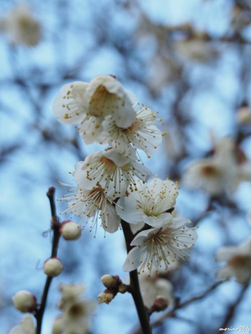 大巧寺 境内の白梅<br /><br />この冬は寒い日が続き、梅の開花は少しゆっくりなのでしょうか。