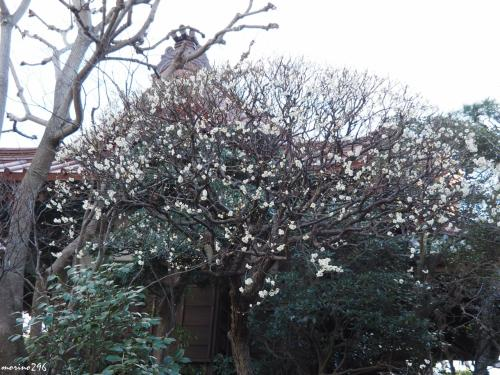 大巧寺 境内の白梅<br /><br />5分咲き程度でしょうか。