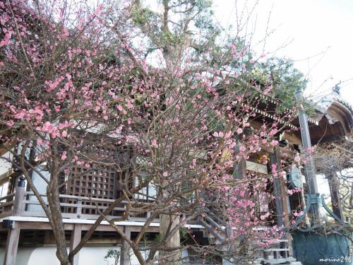 本覚寺 本堂左手の紅梅<br /><br />こちらも5分咲き程度でしょうか。<br />