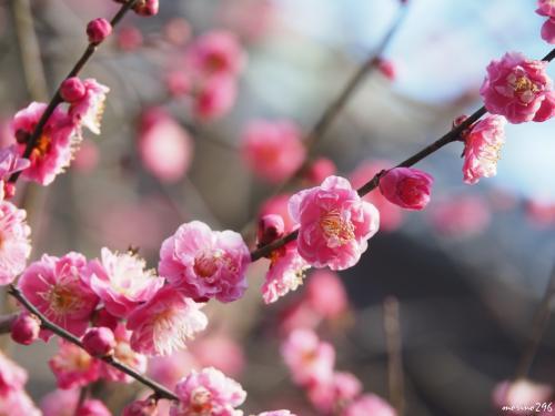妙本寺 祖師堂の左手に咲く紅梅