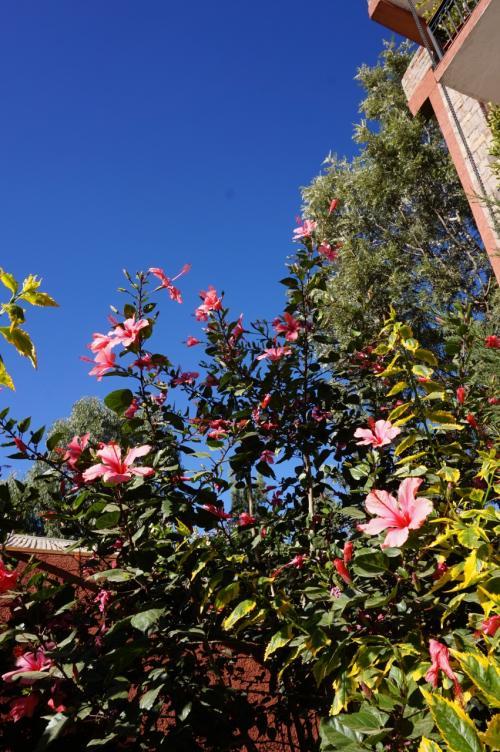 ホテルの中庭にハイビスカス・・・の花が咲いていました。