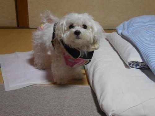 愛犬も疲れたのか、私の布団に入ってぐっすり寝ました。