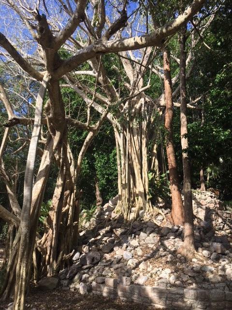 この遺跡は発掘がまだそれほど進んでいないこともあり、こうしてジャングルの中に埋もれる自然との共生の美しさに触れることも出来ます。<br /><br />こうした自然の中にセンターに流れる時間の長さを感じることが出来ます。<br /><br />因みに、こちらはALAMOの木(ポプラの木)です。