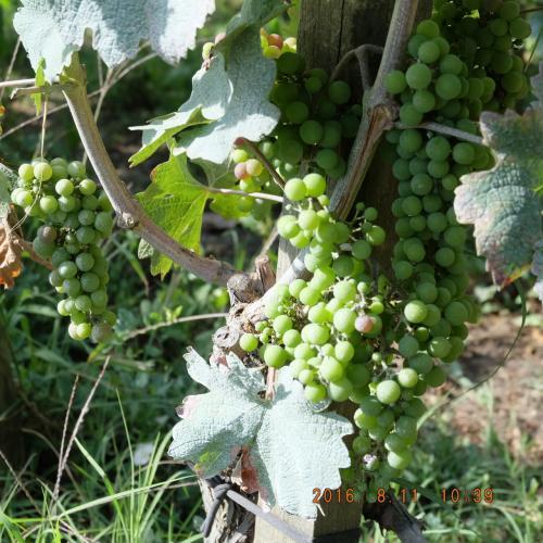 Iさんが私を連れてきたかった、ぶどう畑に着きました。なんども思うけどヨーロッパで犬の散歩にワイン畑がコースになってるのって、個人的にはすごくうらやましいです😂