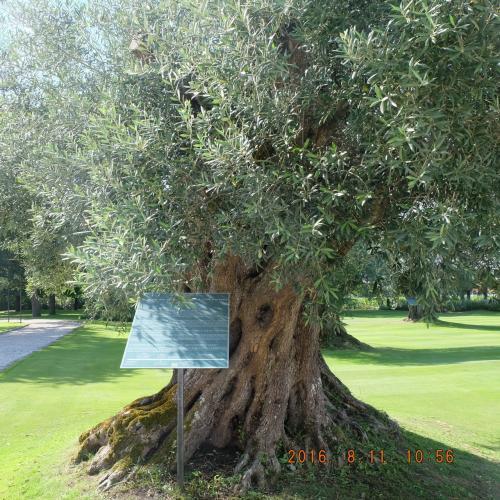 オリーブの木。南スペインで見たオリーブツリーとは違うようです。フランスのオリーブも特段おいしいよ。