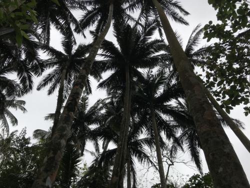 石垣島と西表島にしかないらしく、<br />貴重な植物とのこと。