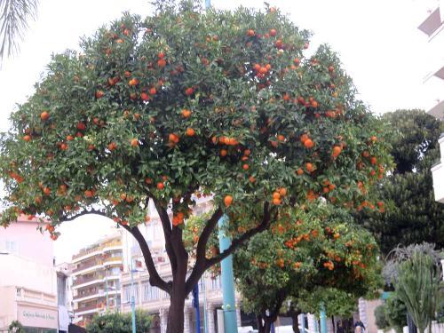 駅に向かう途中、街路樹がオレンジの実をつけていた。