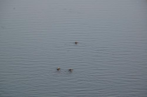 安威川(あいがわ)を泳ぐカモ。平和だなあ。